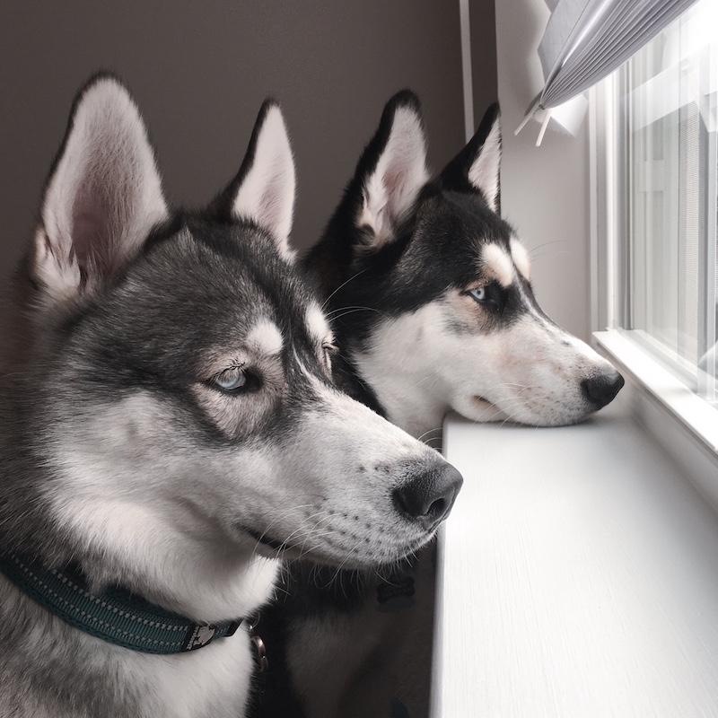 monika Kibble to Raw huskies